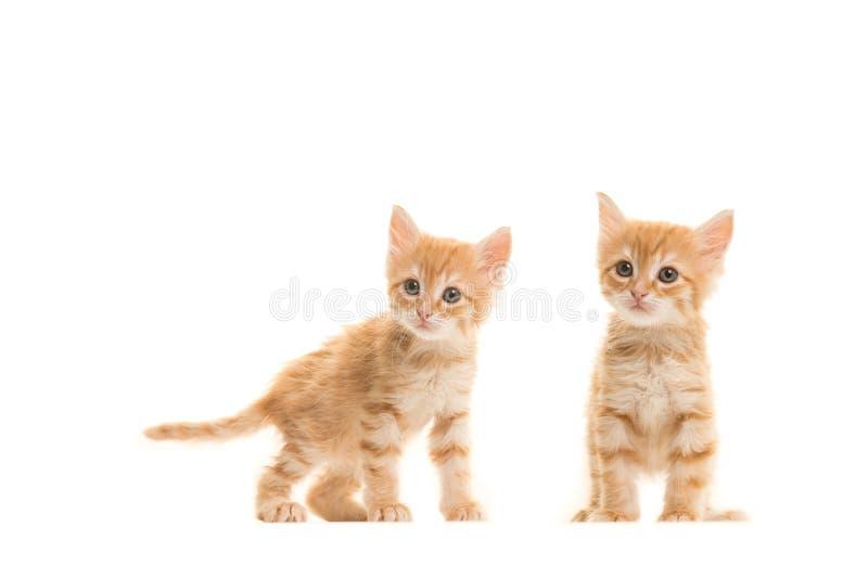 两只常设姜土耳其安哥拉猫小猫 图库摄影
