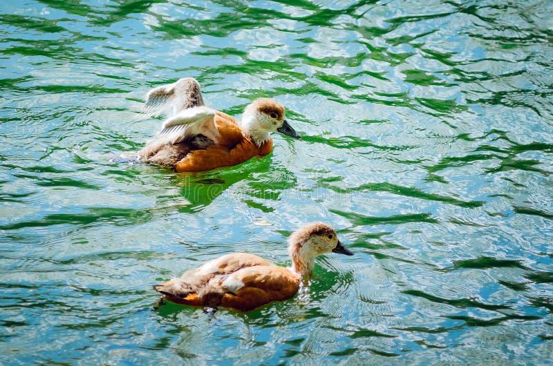 两只年轻鸭子在湖游泳 库存图片