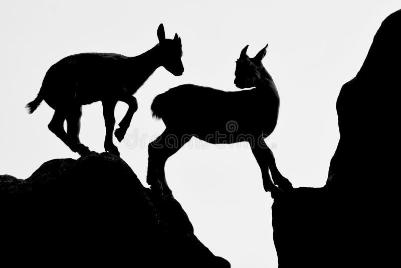 两只幼小山羊在小山使用 免版税库存照片