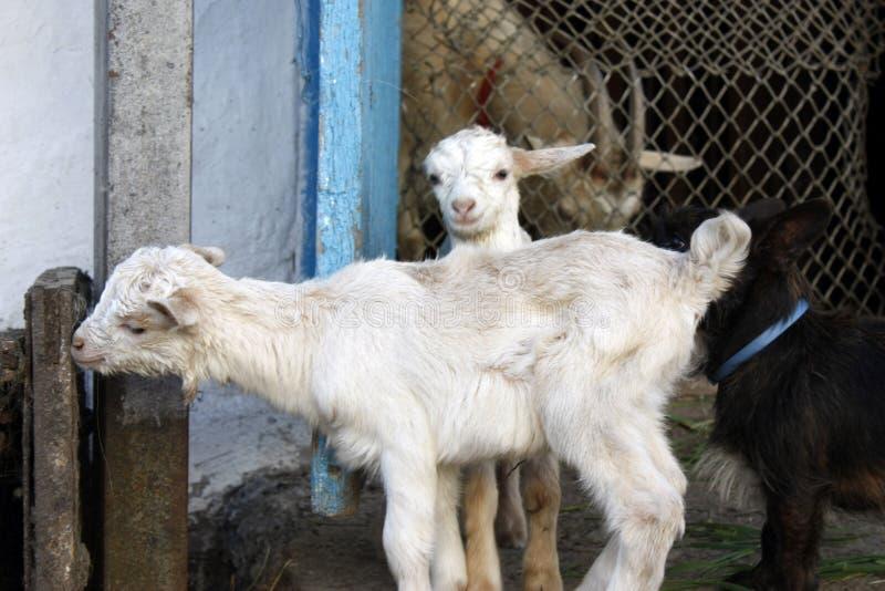 两只幼小白色山羊使用与狗 r 库存图片