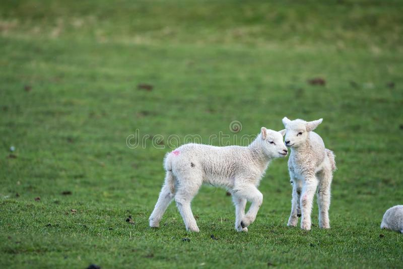 两只幼小羊羔 免版税库存照片