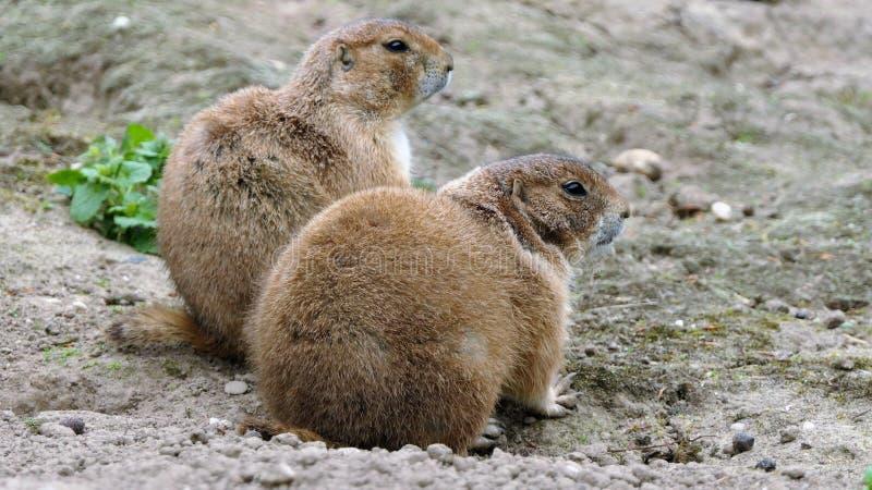 两只机敏的草原土拨鼠 免版税库存照片