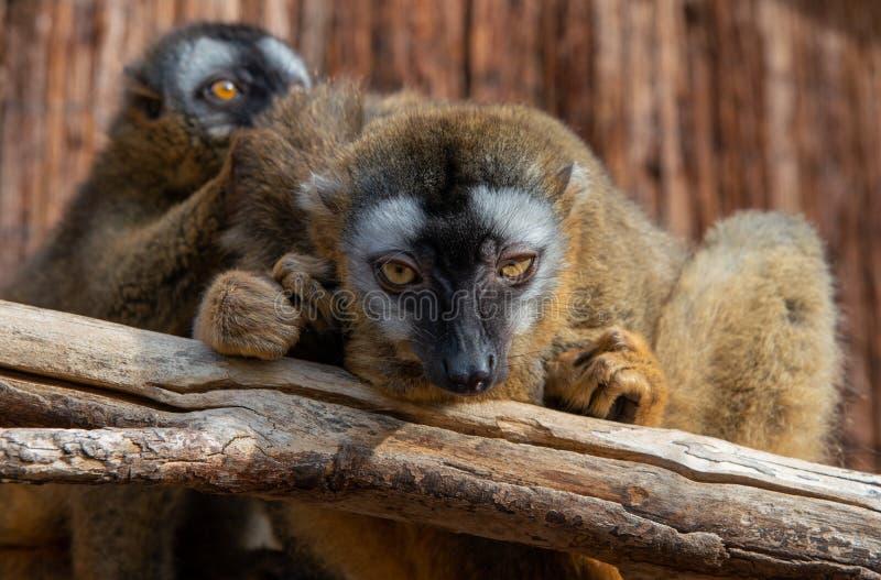 两只棕色狐猴在动物园里 库存图片