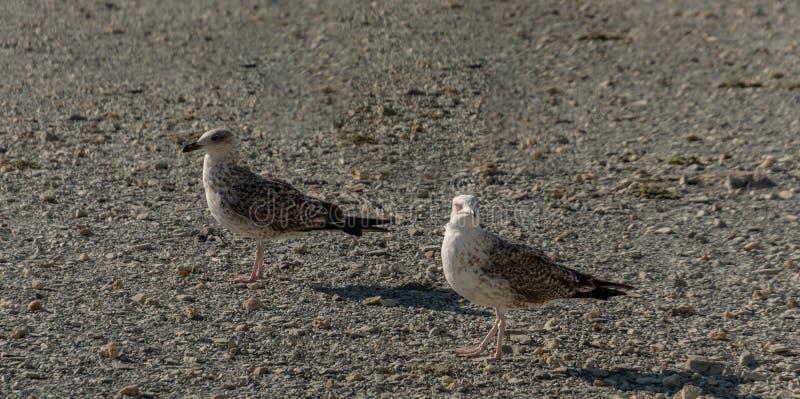 两只沿小灰色小卵石岸的年轻海鸥鸥属玛丽恩步行在日落的 免版税库存照片