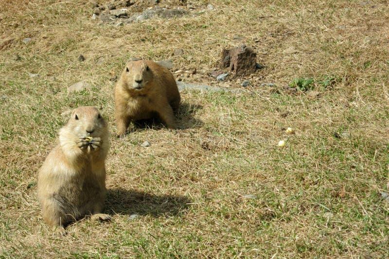 两只注意黑被盯梢的草原土拨鼠(草原犬鼠ludovicianus) 免版税图库摄影
