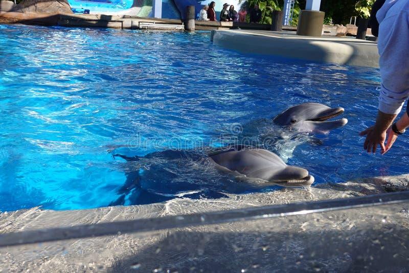 两只海豚在水中 免版税库存照片