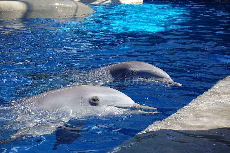 两只海豚在水中 库存图片