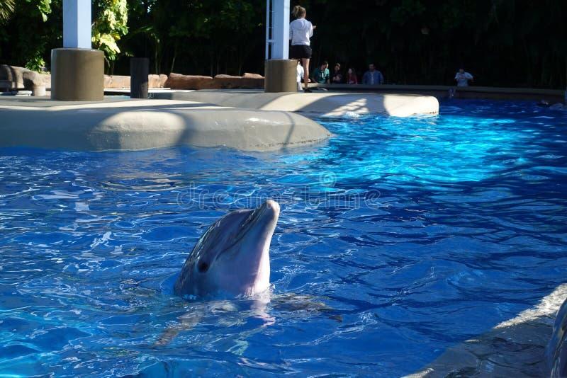 两只海豚在水中 免版税库存图片