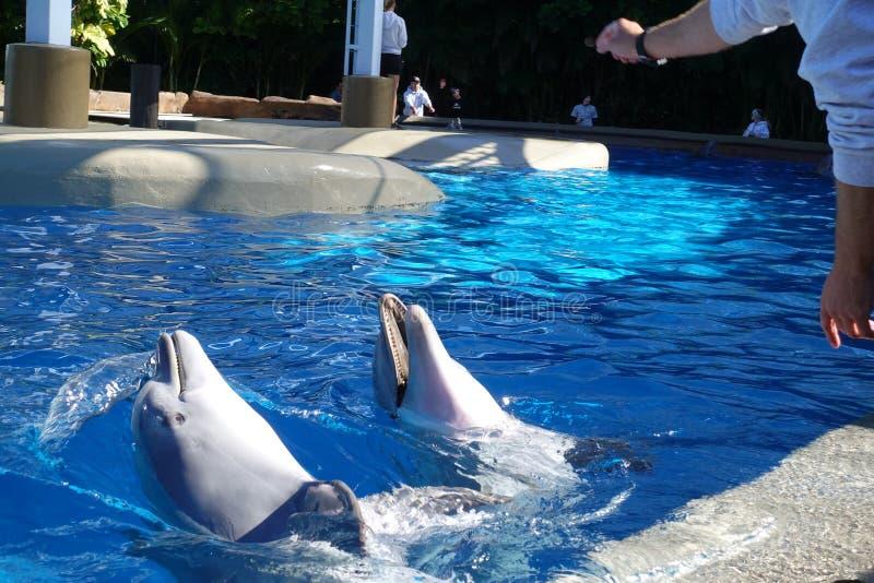 两只海豚在水中 库存照片