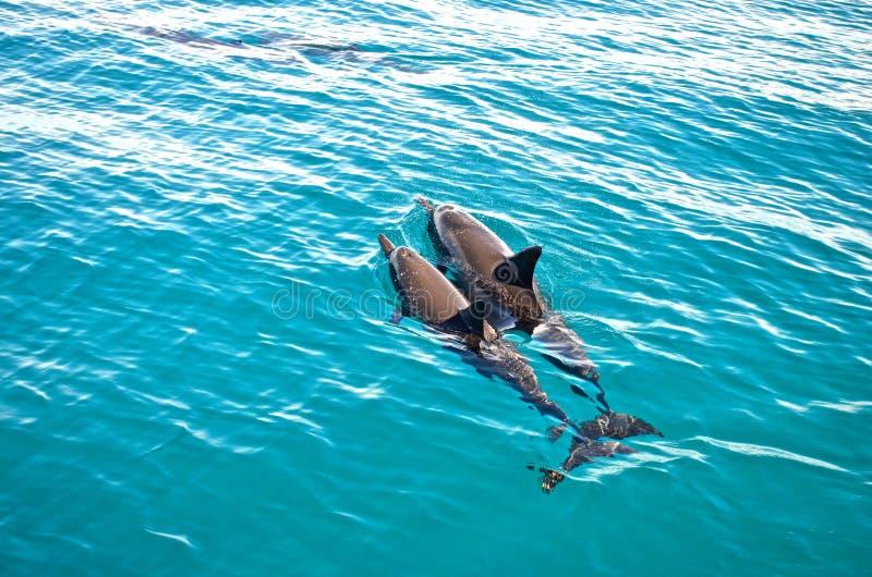 两只海豚 库存照片