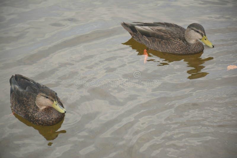 两只游泳的美国黑鸭 免版税库存图片