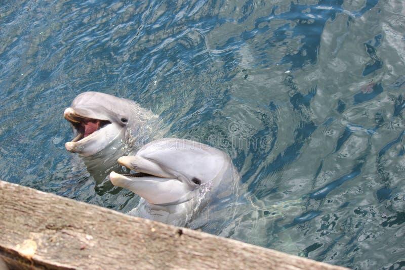 两只滑稽的海豚Maaike和皮包骨头在Dolfinarium哈尔德韦克 库存图片