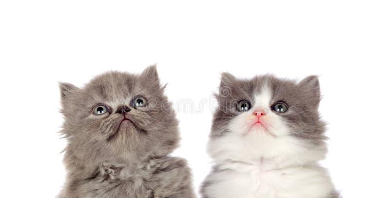两只滑稽的灰色猫 免版税库存照片
