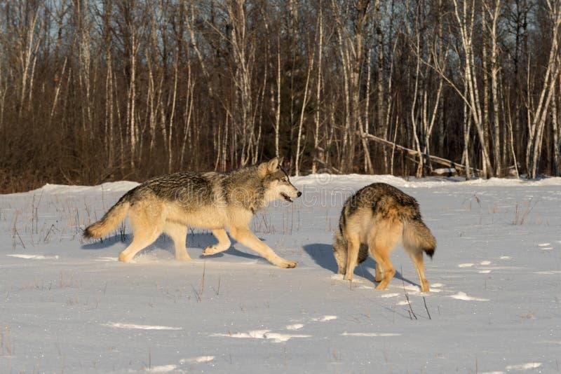 两只灰狼在斯诺伊领域的天狼犬座 免版税库存图片