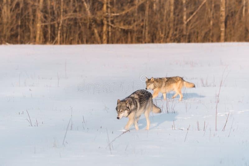 两只灰狼天狼犬座移动在斯诺伊领域离开 免版税图库摄影