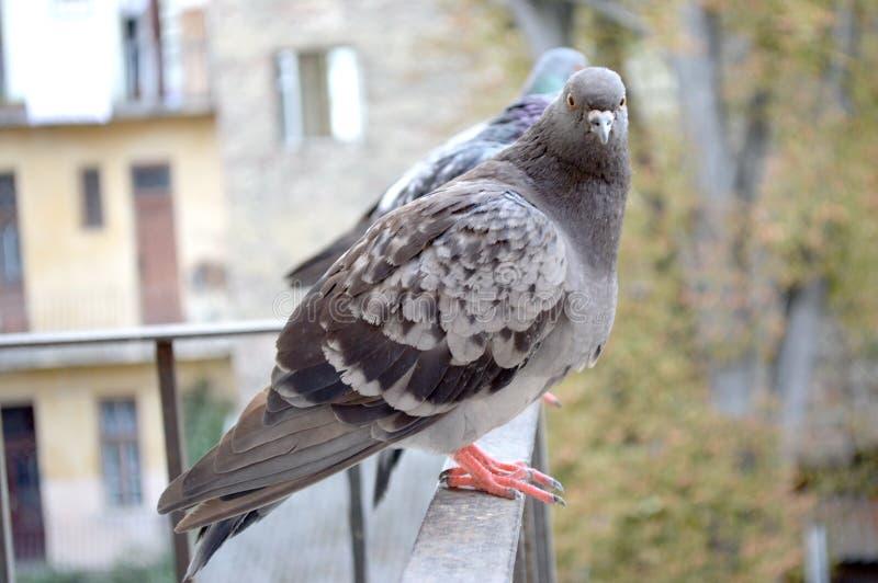 两只灰色鸽子 免版税库存照片