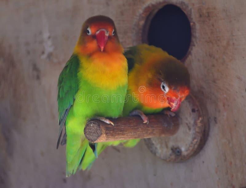 两只爱鸟靠近栖息 库存图片