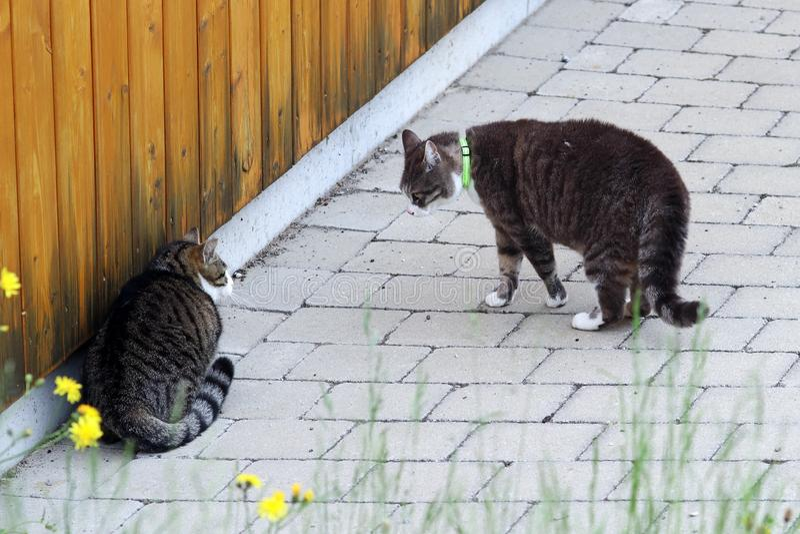 两只男性猫争论 牛在雄猫中战斗 免版税库存照片