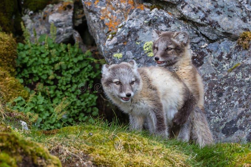 两只白狐是在绿草的戏剧在岩石下 库存图片