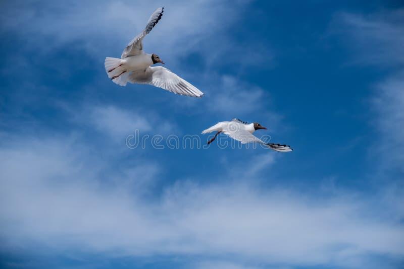 两只白色海鸥在天空飞行 ?? 库存照片