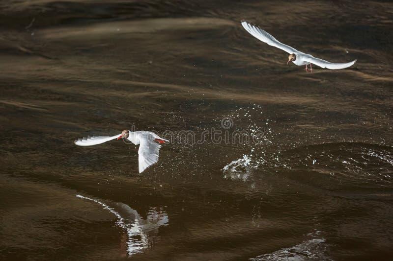 两只白色海鸥降低在河的黑暗的表面 免版税库存图片