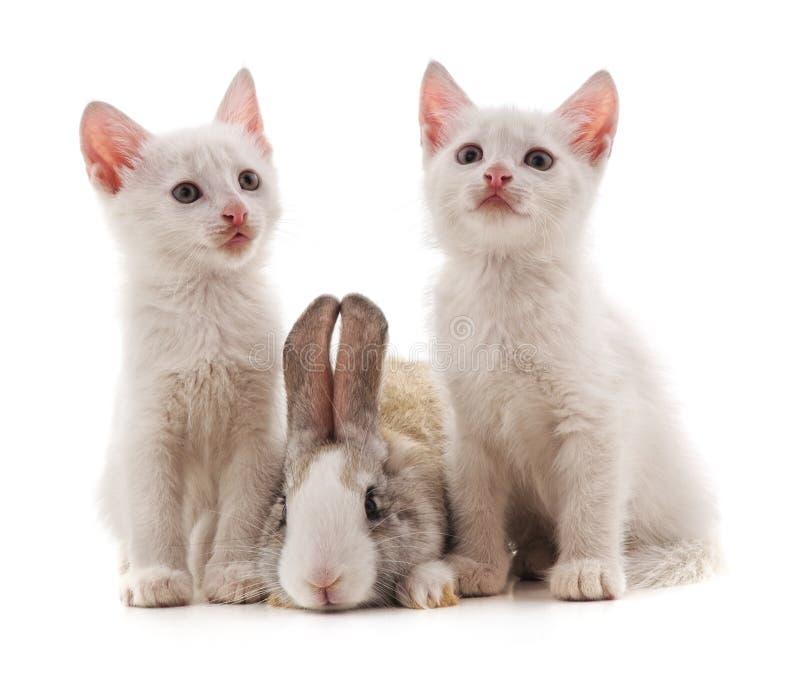 两只白色猫和兔子 免版税库存图片