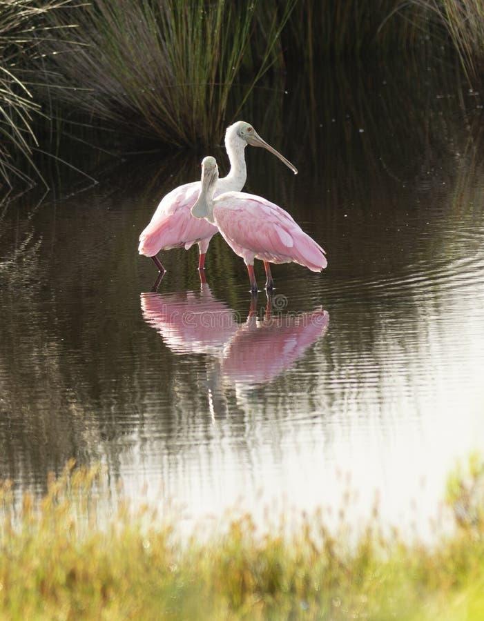 两只粉红琵鹭涉水鸟在乔治亚沼泽停留 免版税图库摄影