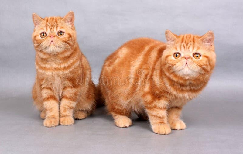 两只红色异乎寻常的shorthair小猫 免版税图库摄影