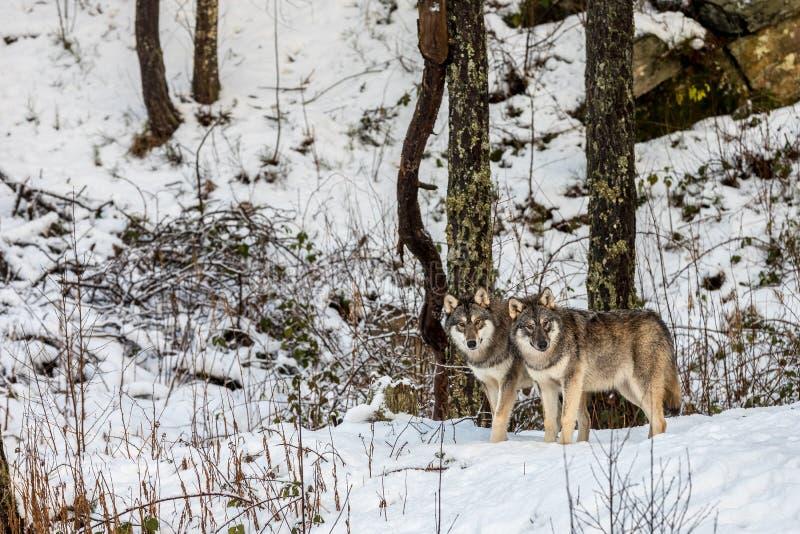 两只美丽的灰狼,天狼犬座,在有雪的一个冬天森林里 免版税库存图片