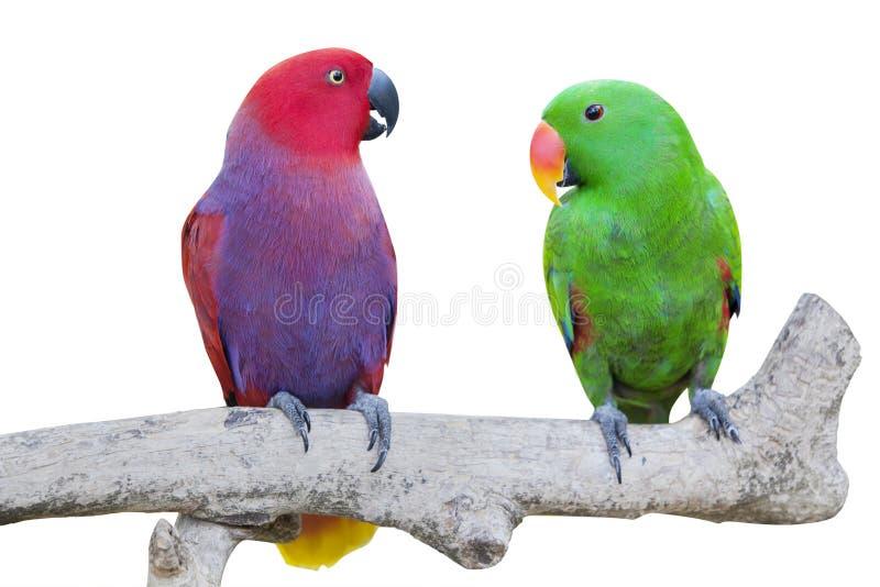 两只美冠鹦鹉鸟 免版税库存照片