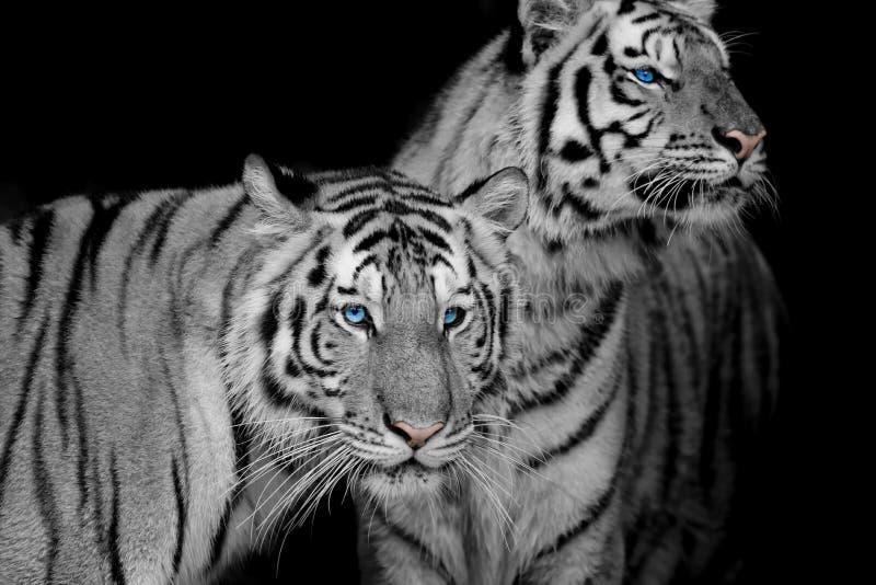 两只老虎黑&白色  免版税库存图片