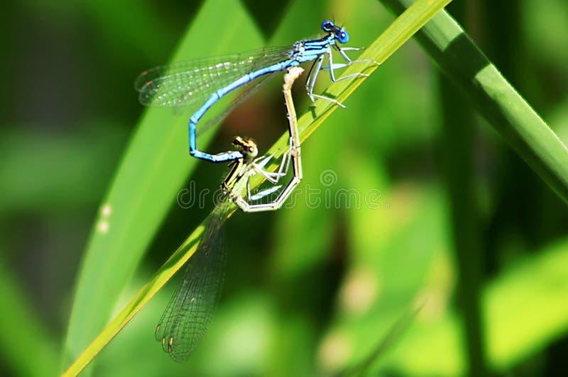 两只蓝色蜻蜓在叶子联接 免版税库存照片