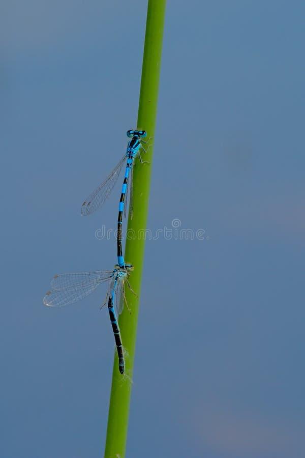 两只蓝色蜻蜓坐芦苇茎,交配 库存照片
