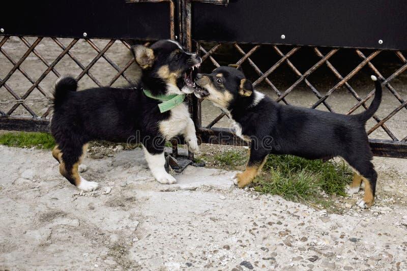 两只蓬松嬉戏的小狗 竞争小狗-使用室外在围场在金属门附近 可笑的勇敢小犬座 免版税库存照片