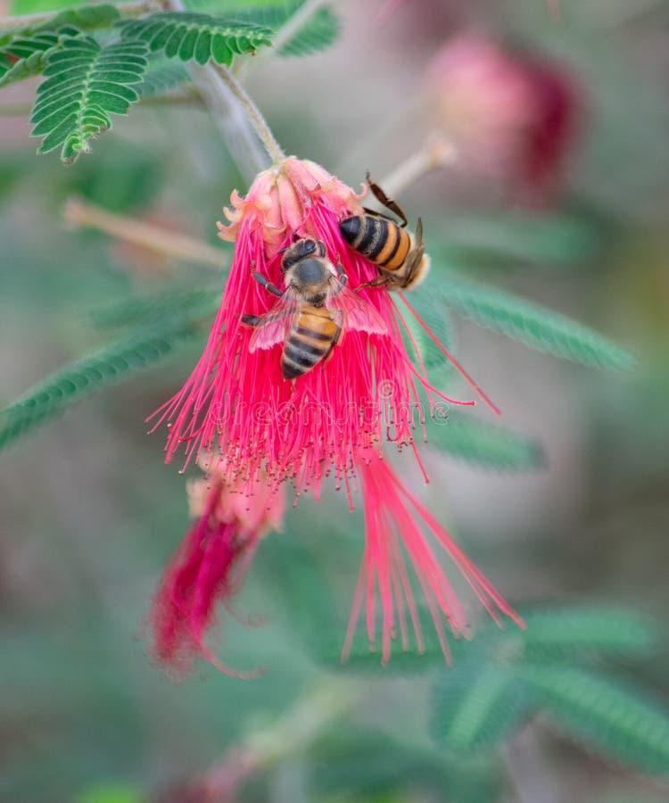 两只蜂坐在绿色叶子之间的一朵红色花 免版税图库摄影
