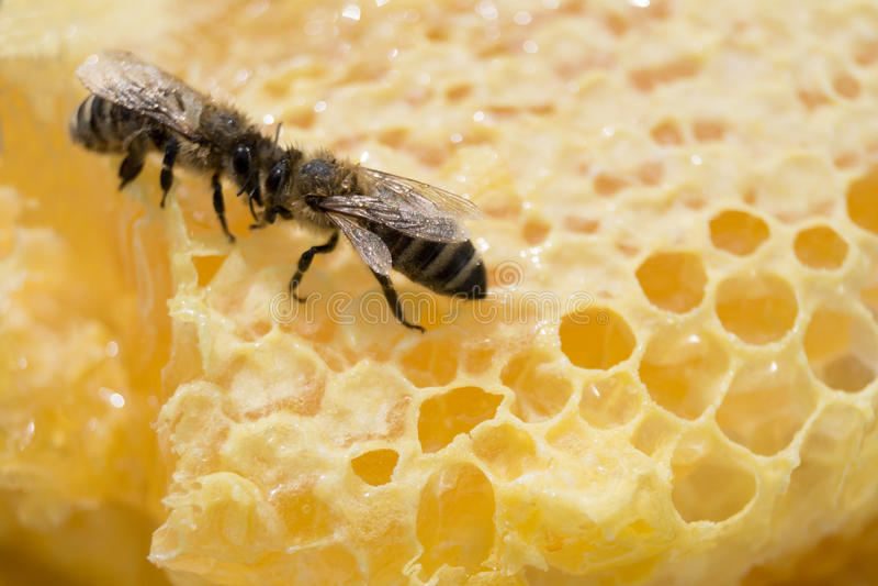两只蜂面对面在充分黄色蜂窝蜂蜜 库存图片
