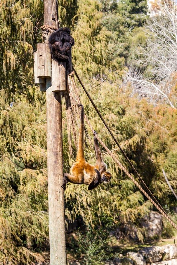 两只蜘蛛猴在耶路撒冷圣经的动物园,以色列里 库存照片