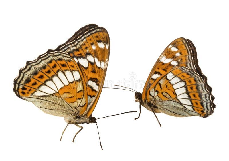 两只蝴蝶ribboned topolovy拉丁线蛱蝶属populi -从nymphalids家庭的天蝴蝶  库存图片