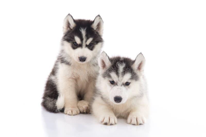 两只西伯利亚爱斯基摩人小狗坐白色背景 免版税图库摄影