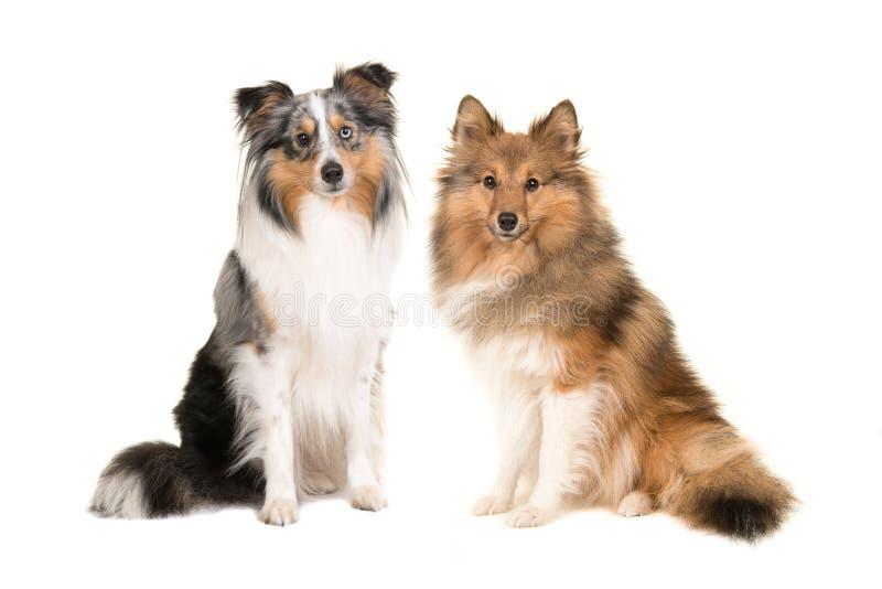 两只设德蓝群岛牧羊犬用不同的颜色 库存图片