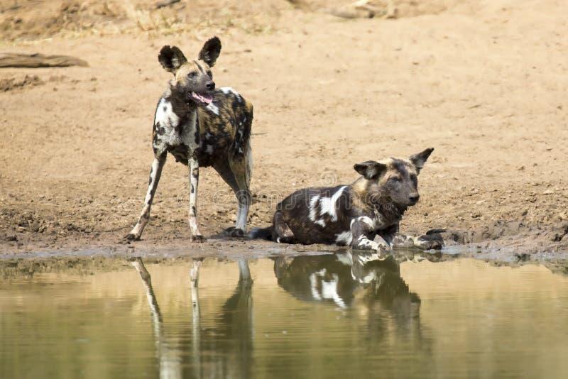 两只豺狗在waterhole旁边休息喝水 库存照片