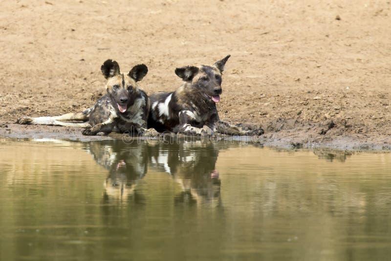 两只豺狗在waterhole旁边休息喝水 免版税库存图片