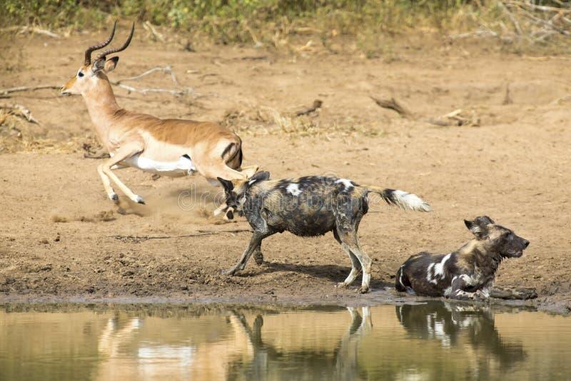 两只豺狗在waterhole旁边休息喝水 图库摄影