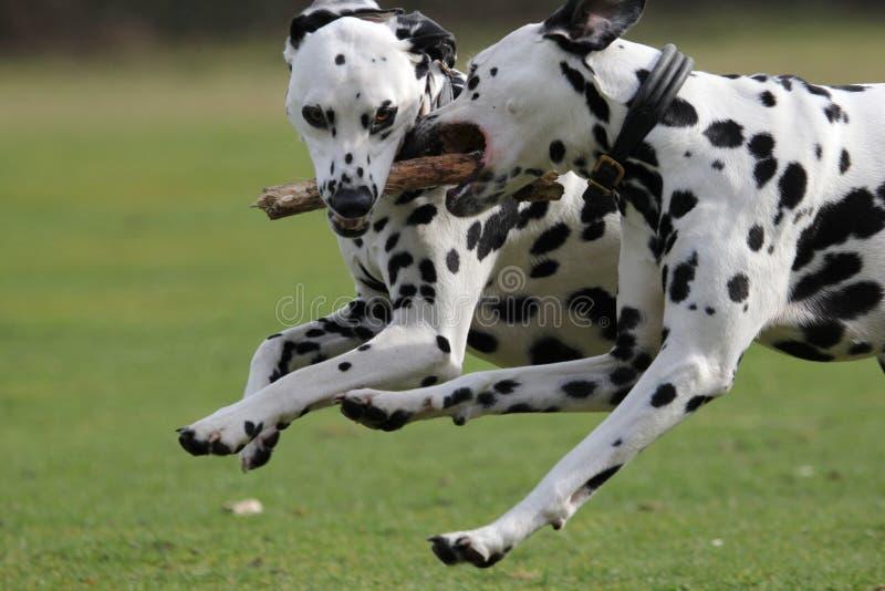 两只达尔马提亚狗跑 图库摄影