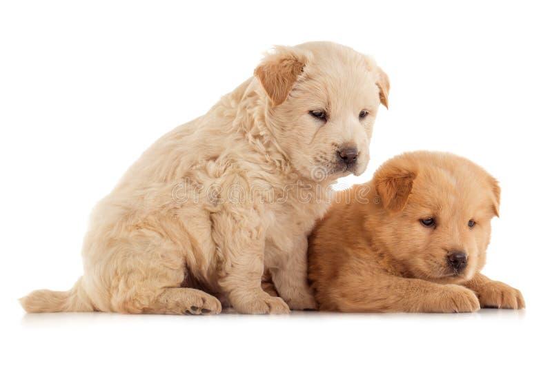 两只逗人喜爱的咸菜小狗,被隔绝在白色 免版税库存照片
