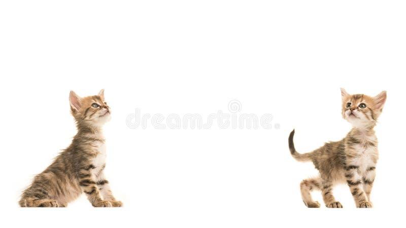 两只逗人喜爱的平纹土耳其安哥拉猫小猫查寻的两个 库存照片