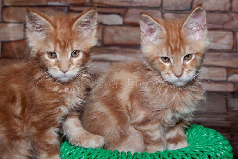 两只逗人喜爱的缅因浣熊小猫 免版税库存照片