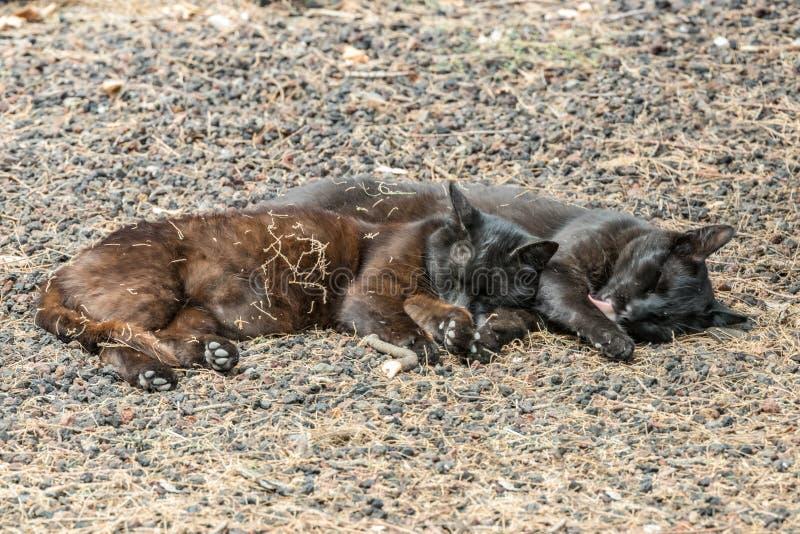 两只野生猫有美好时光在Caleta海滩附近在拉戈梅拉海岛 夫妇睡眠甜,取暖在多孔熔岩小卵石 免版税库存照片