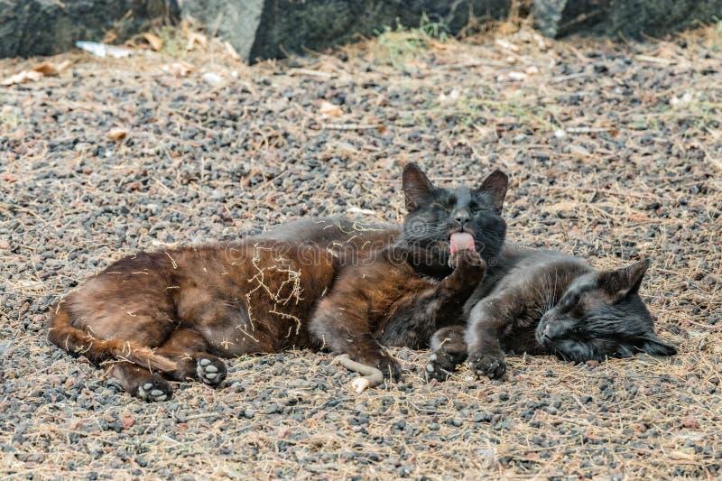 两只野生猫有美好时光在Caleta海滩附近在拉戈梅拉海岛 舔爪子的母猫,取暖在多孔熔岩 免版税库存图片