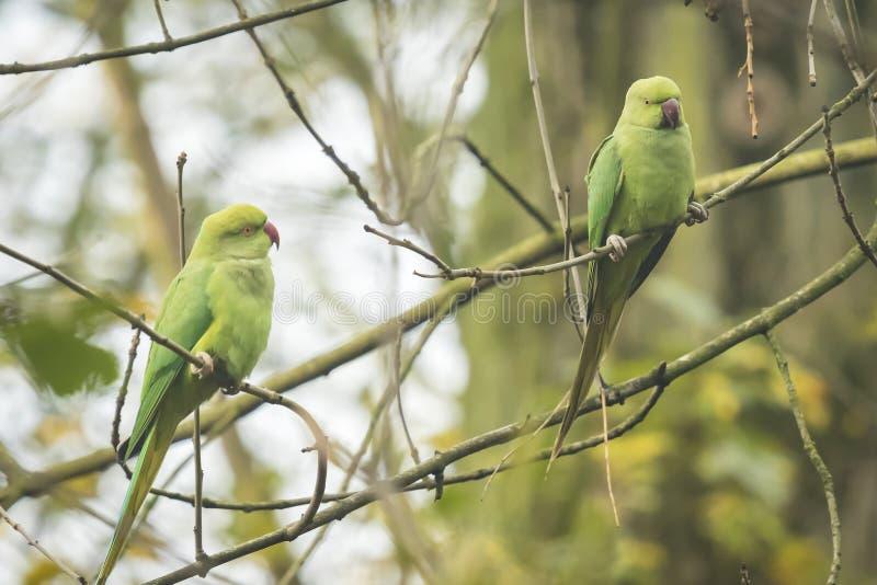 两只野生罗斯圈状的长尾小鹦鹉 库存照片